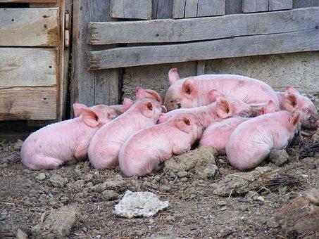 Pigs, Livestock, Domestic, Mammal, Pork