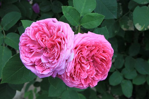 Damascena, Damas, Fleurs, Jardin, Rose