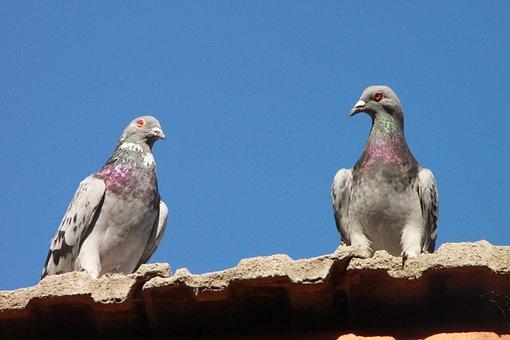 Pigeons, Toit, Oiseaux, Maison