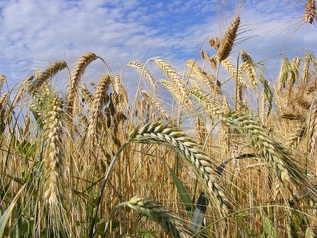 Урожай зерна в Ростовской области в 2019 году вырос на 8%