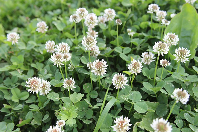 Free Photo Clover Flowers Wild Plants Free Image On