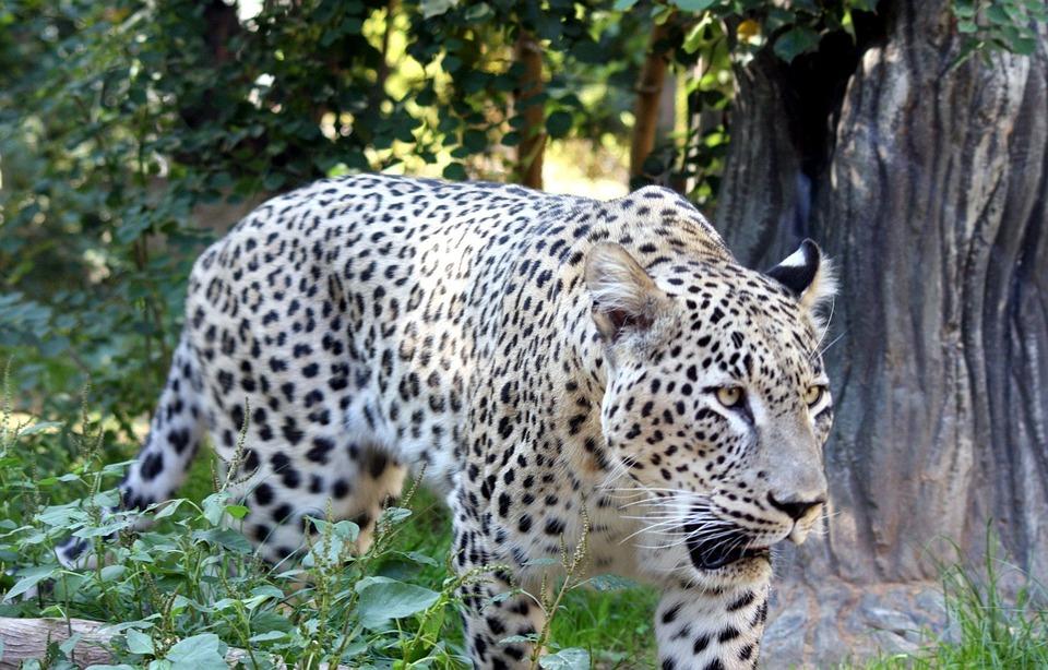 Duży Kot Lampart Darmowe Zdjęcie Na Pixabay