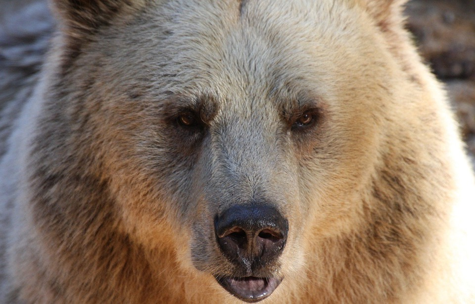 free photo  bear  grizzly  wildlife  brown - free image on pixabay