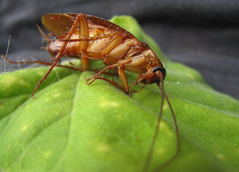 Cockroach, Insect, Bug, Pest, Disease