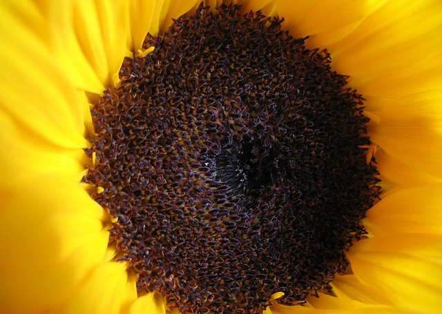 Big Sunflower Inside The Gardens Stock Photo, Picture And Royalty ...