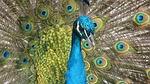 peacock, ptak, wtapianie