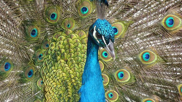 Peacock, Bird, Feather, Close Up, Color