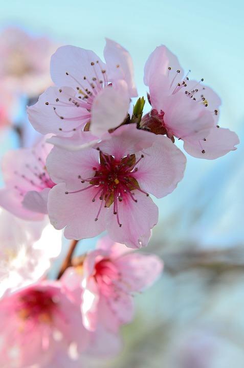 Fiori Di Pesco Spring Colorful Free Photo On Pixabay