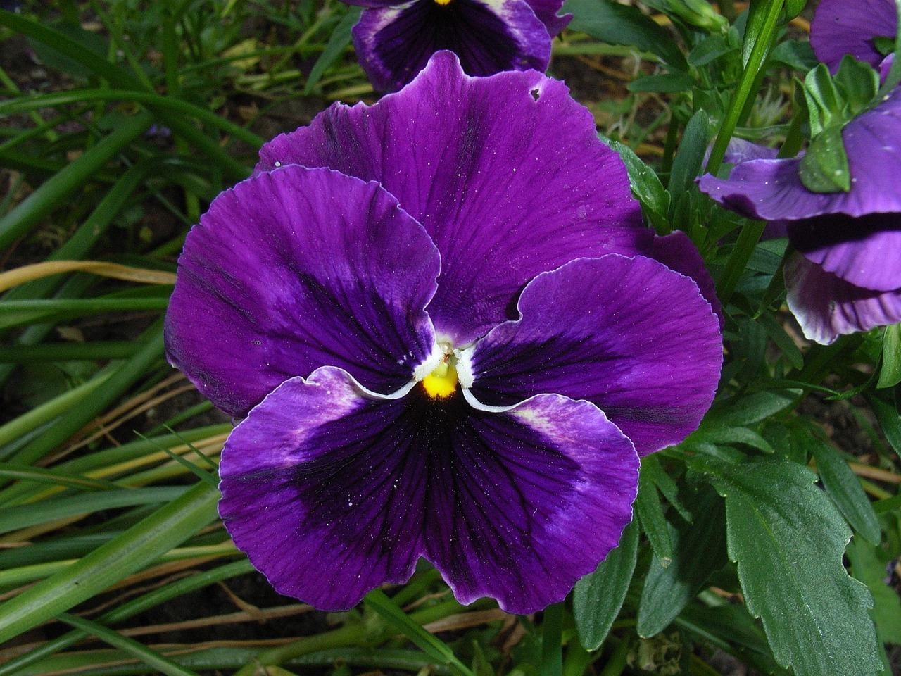 салона фиолетовые анютины глазки фото лучше