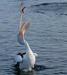 pelican, catching, fish