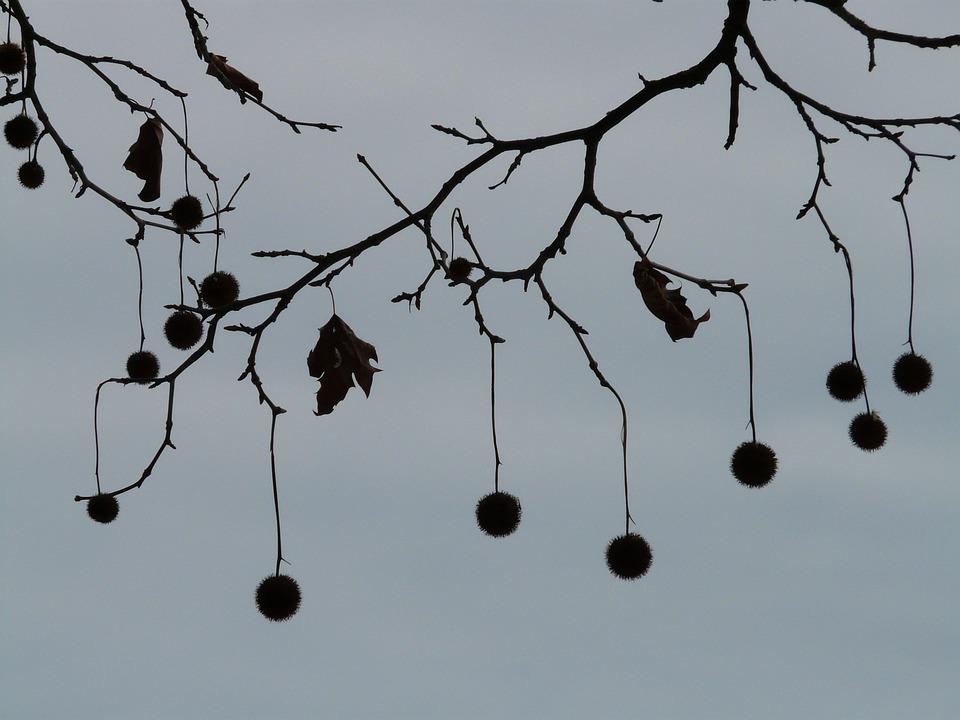 Atemberaubend Samen Baum Platane - Kostenloses Foto auf Pixabay #BM_22