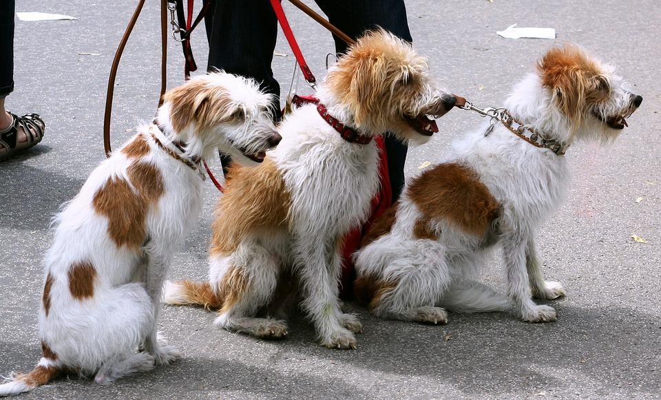Dog Walker Public Domain Pictures