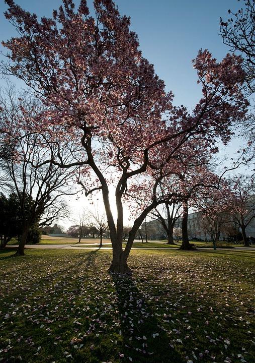 Washington Dc Trees Magnolias Free Photo On Pixabay