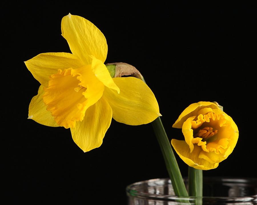 Foto gratis giunchiglia narciso fiore giallo immagine for Narciso giallo