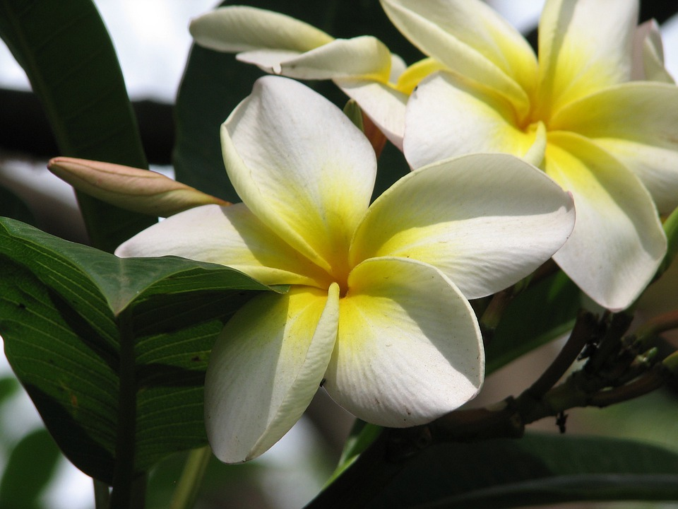 Flower white yellow free photo on pixabay flower white flower yellow flower plumeria mightylinksfo