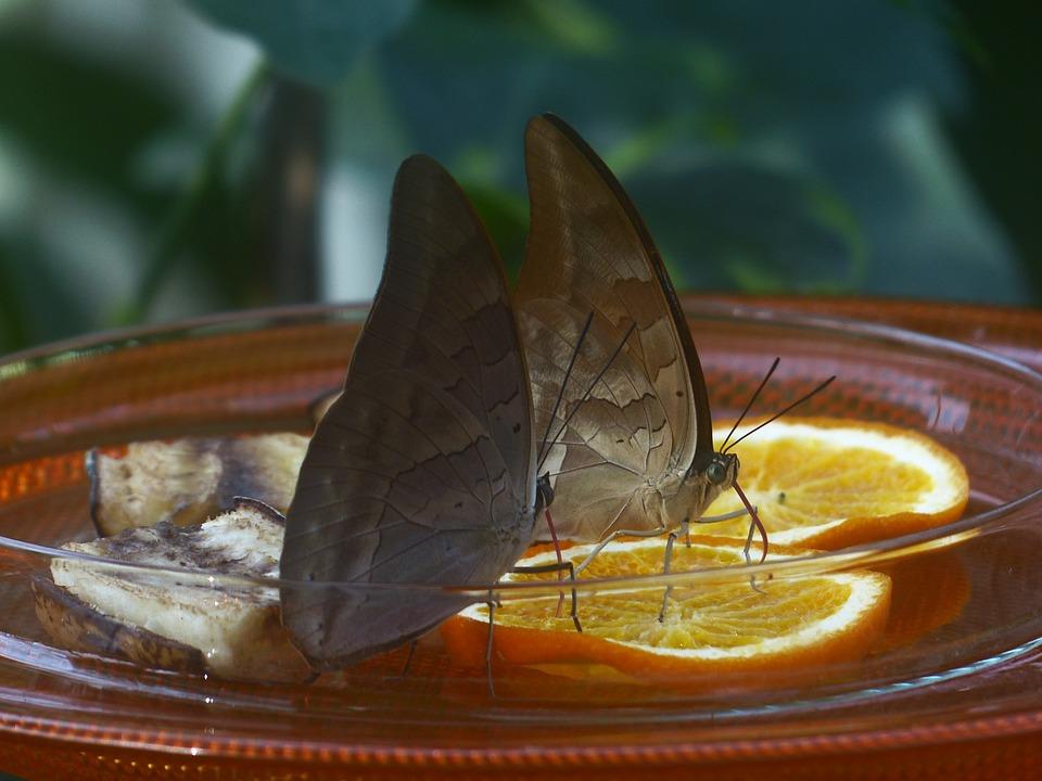 Schmetterlinge Futterung Kostenloses Foto Auf Pixabay