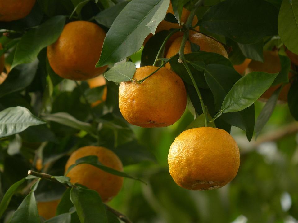 Zeste, Fruits, Oranges Amères, Citrus Aurantium