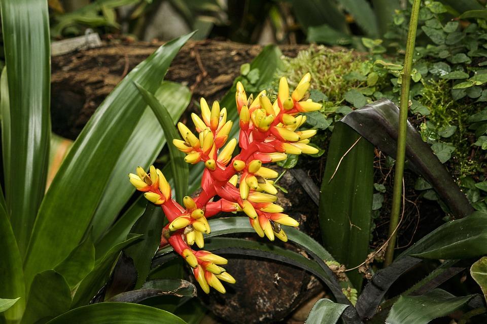 Photo gratuite bromelia aechmea fleur plantes image for Plante bromelia