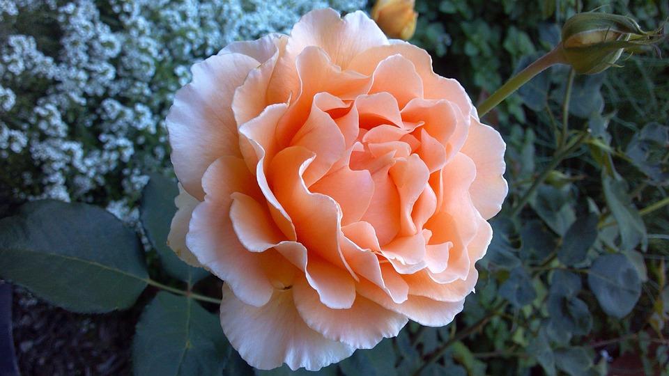 Corail, Roses, Fleurs, Orange, Pétales, Épanouissement
