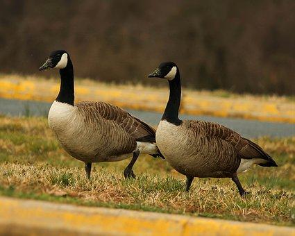 Canada Geese, Goose, Branta Canadensis