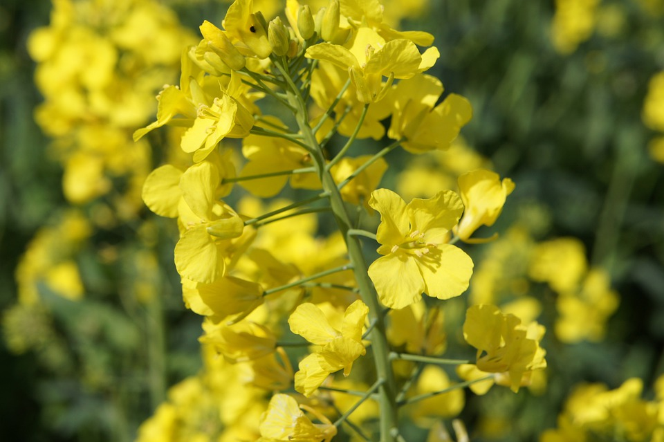 Rapeseed flowers images pixabay download free pictures yellow flower rapeseed crop mightylinksfo