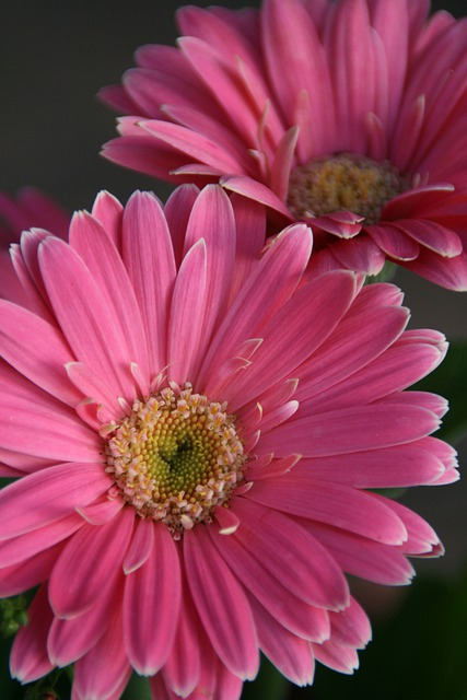 Free Photo Gerbera Daisy Pink Daisy Flower Free