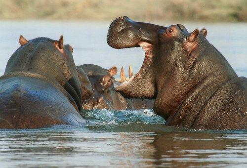 Hippopotamus, Hippo, Animal, Namibia