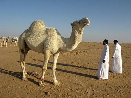 サウジアラビア, 砂漠, ラクダ