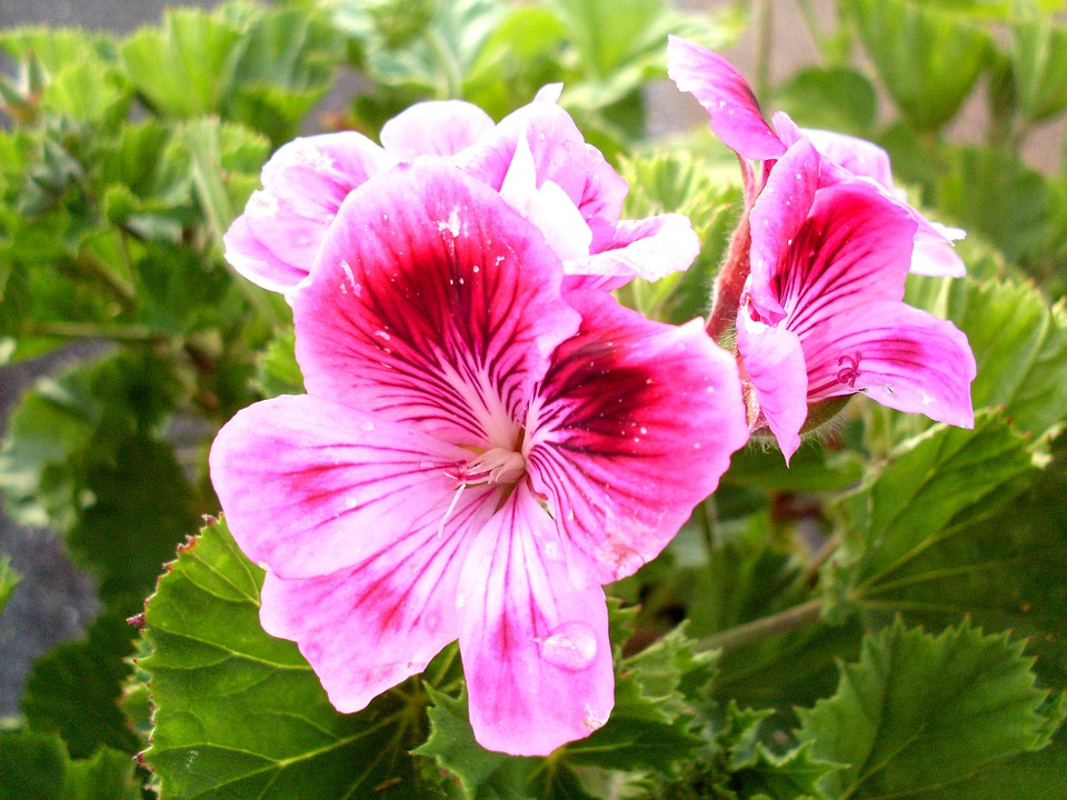 Free photo purple flower geranium flowers free image for Geranio macranta
