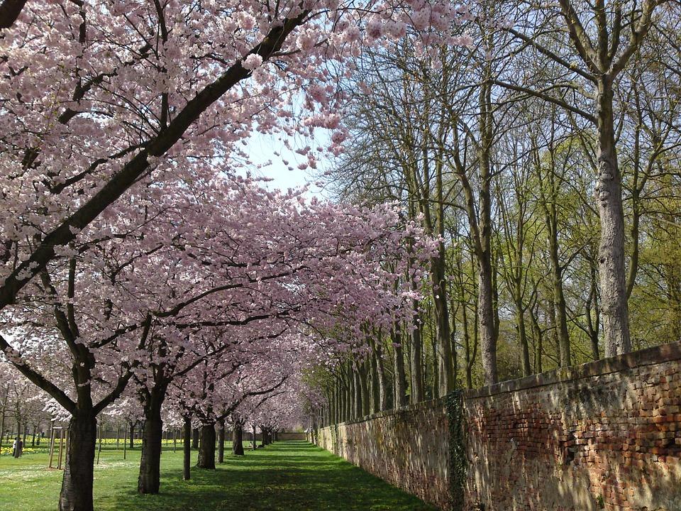 Cherry Blossom, Schlossgarten, Landscape, Nature