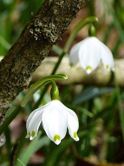 Flocon De Neige, Fruehlingsknotenblume