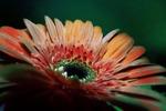 gerbera, flower, colored