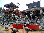 kathmandu, nepal, birds