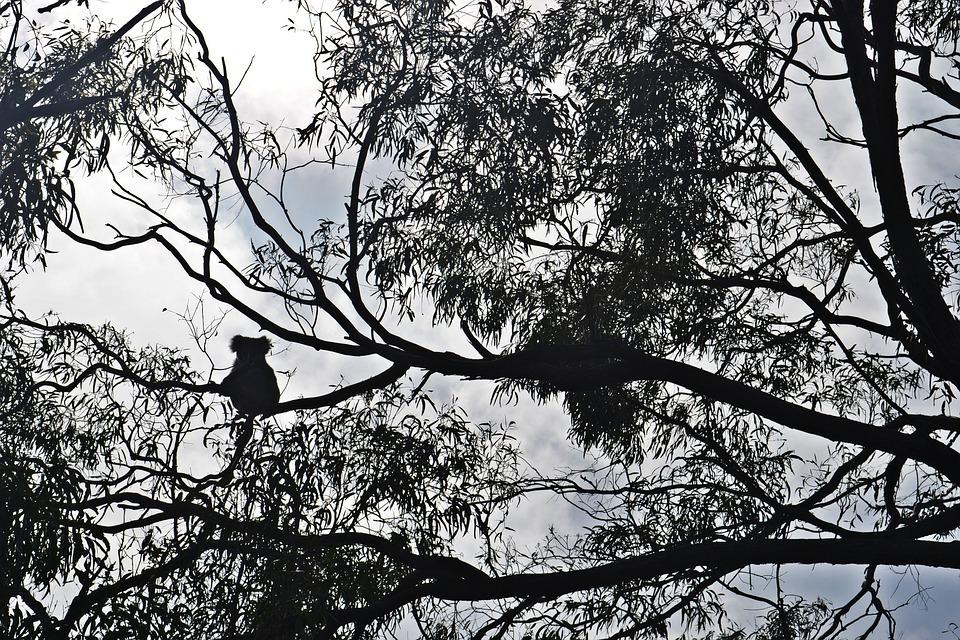 Koala, Raymond Island, Australia, Eucalyptus