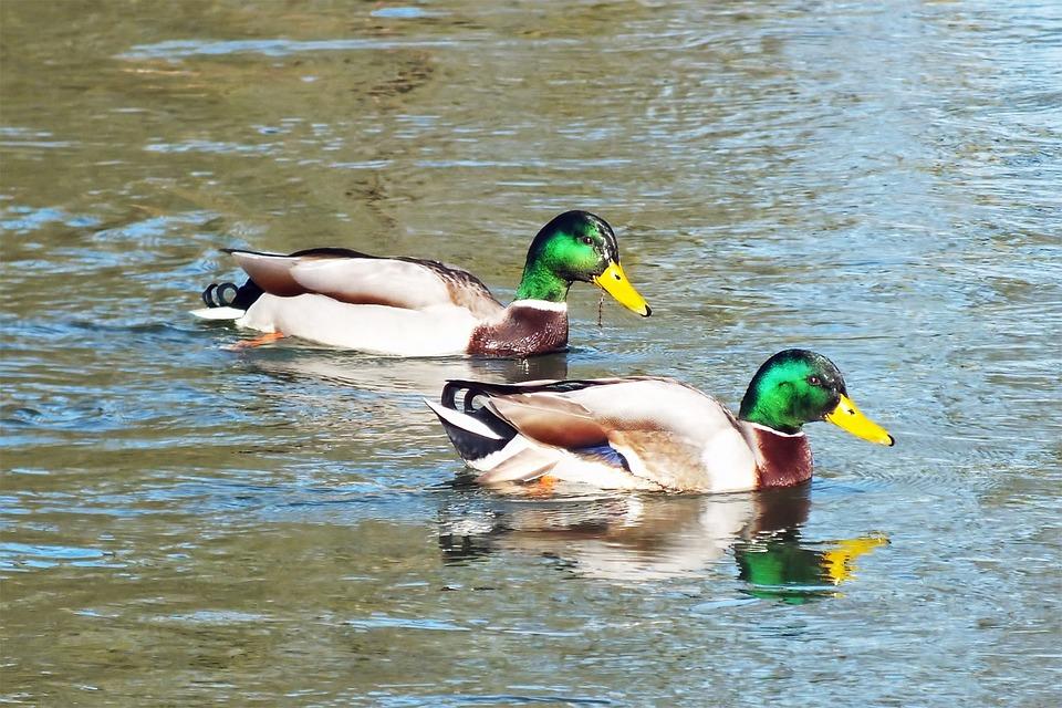 Ducks Wild Duck Water 183 Free Photo On Pixabay