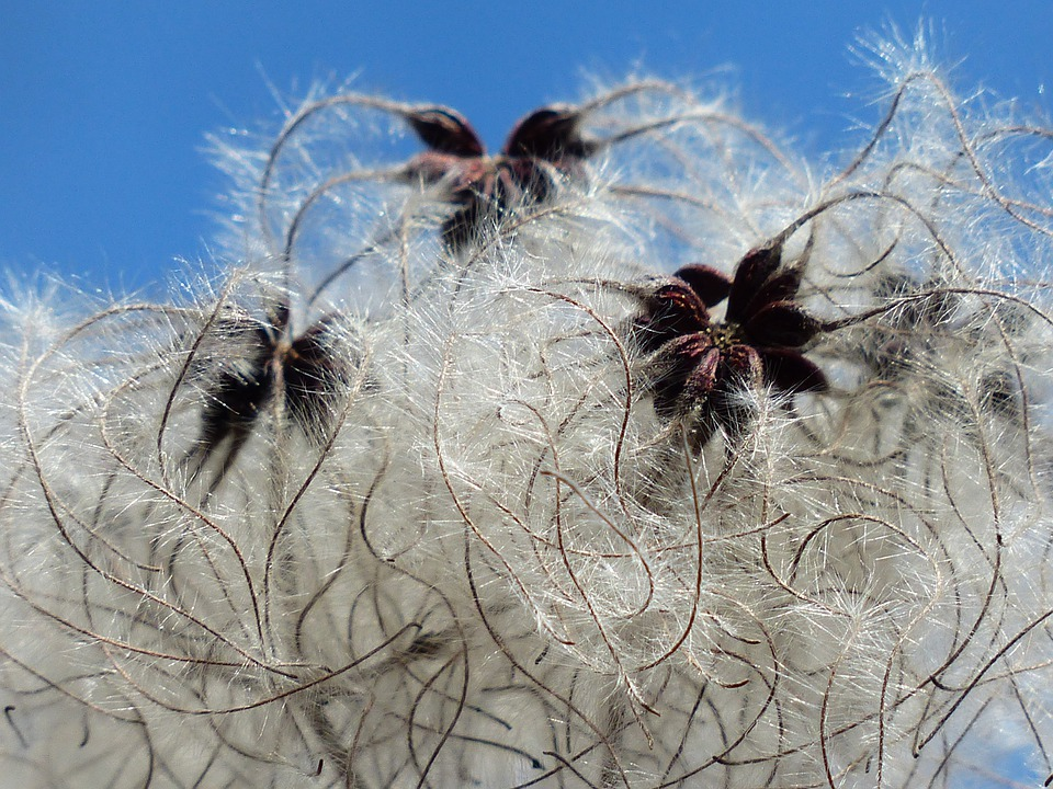 free photo  clematis vitalba  pods  soft