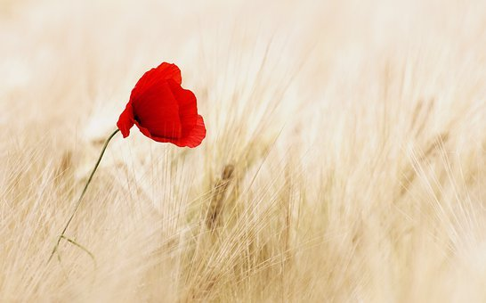 Poppy flower images pixabay download free pictures cereals field ripe poppy poppy flower summ mightylinksfo
