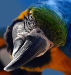 ara, parrot