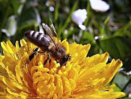 Bee, Dandelion, Macro, Spring, Nature