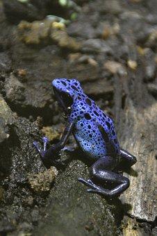 Pfeilgiftfrosch Azul, Rana Veneno, Rana