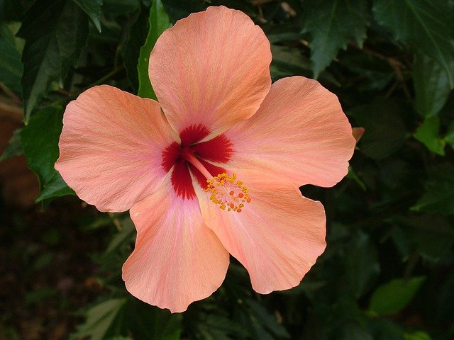 free photo plant, blossom, bloom, hibiscus  free image on, Beautiful flower