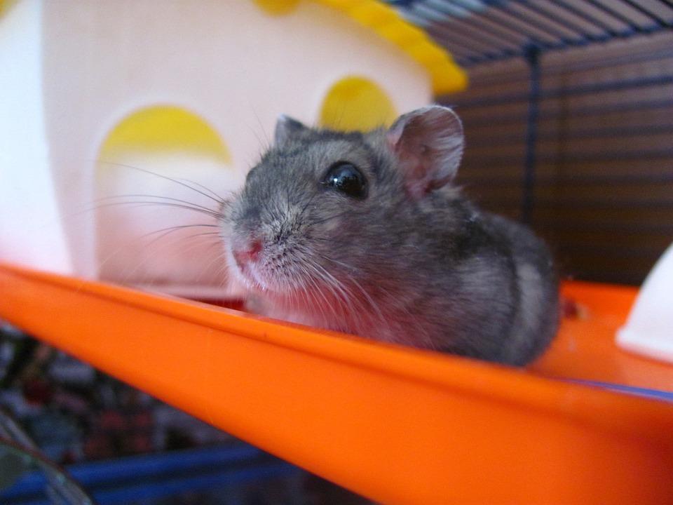 Hamster Dierlijke Huisdier - Gratis foto op Pixabay