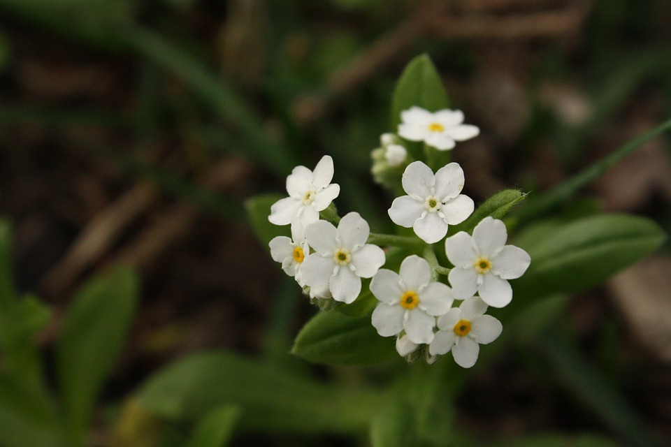 Flower white small free photo on pixabay flower white small white flower flowers weed mightylinksfo
