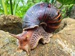 snail, african, south africa