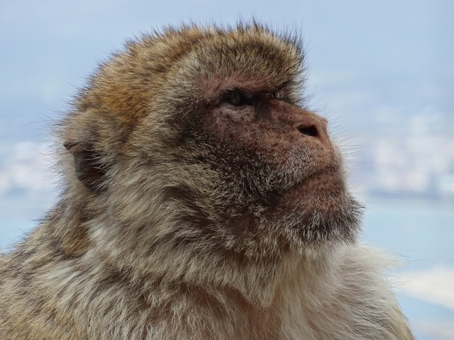 Monkey Barbary Ape Gibraltar 183 Free Photo On Pixabay
