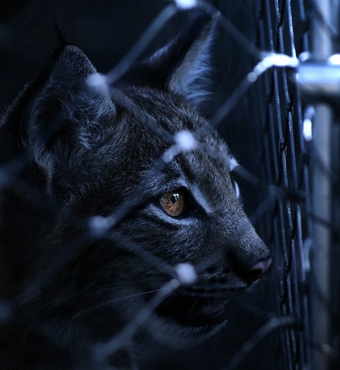 Prison Fence At Night: Lynx Caught Imprisoned · Free Photo On Pixabay