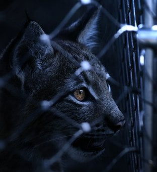 Lynx, Caught, Imprisoned, Fence, View