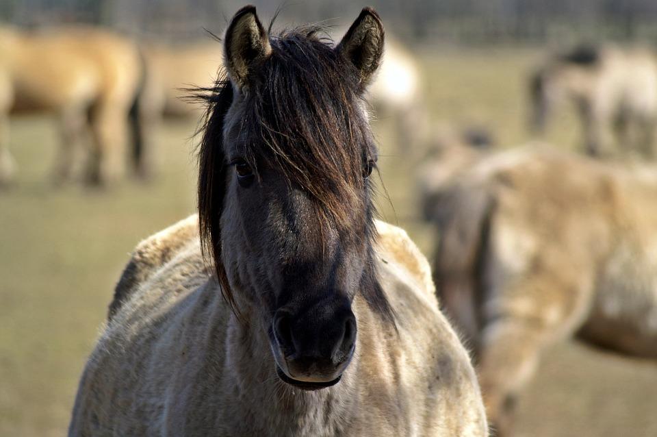 Wild Horse, Mare, Pregnant, Dülmen Germany, Horse