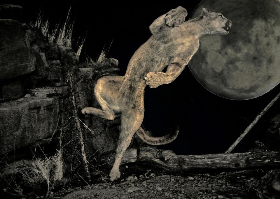 Noc Scena Puma, Puma, Dzikie, Zwierząt, Polowanie