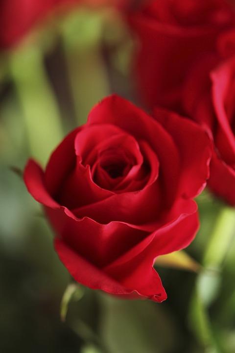 Rose Rojo Flor Rosas Foto Gratis En Pixabay